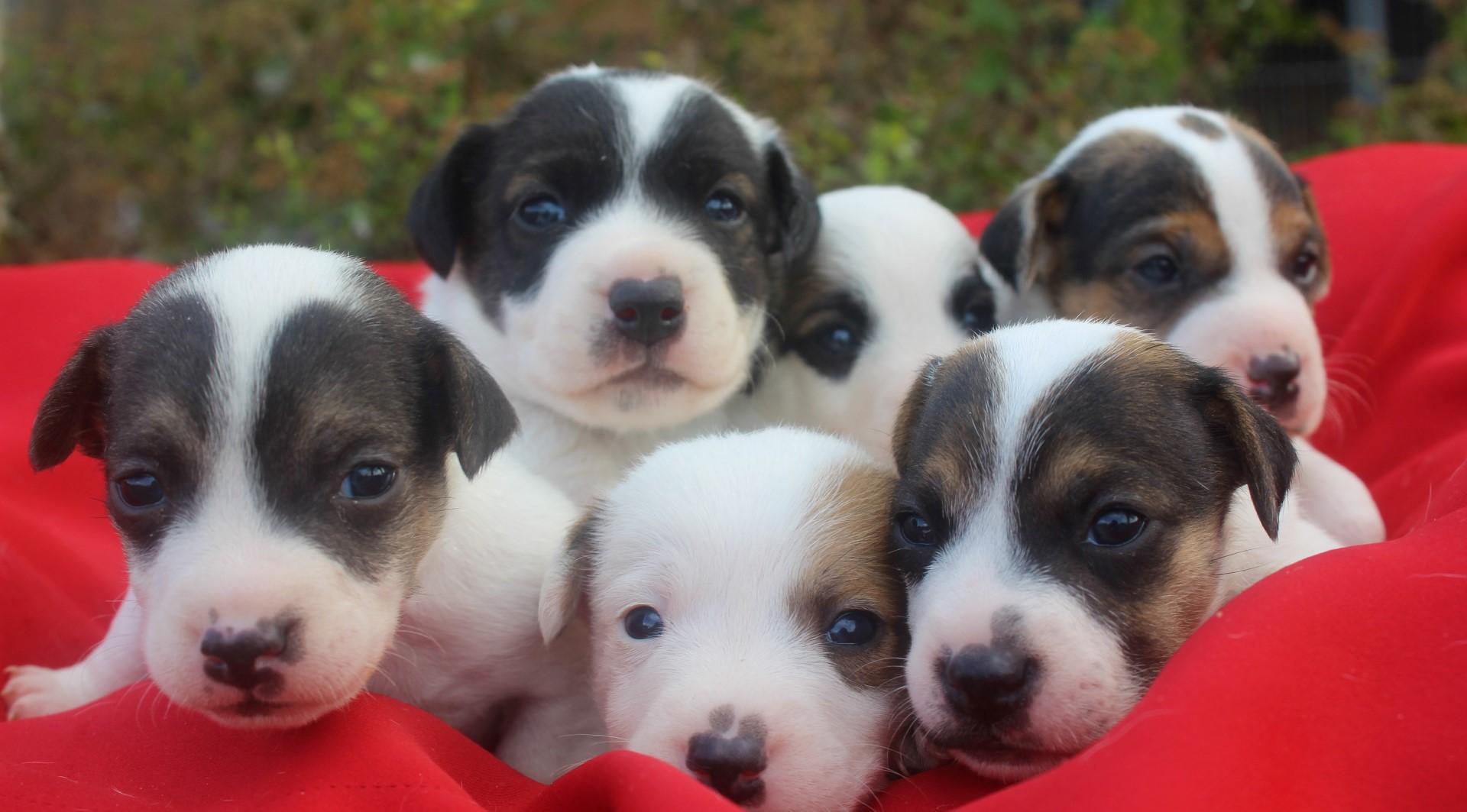Chiot Jack russell terrier : 4  mâles - femelles 2 235665