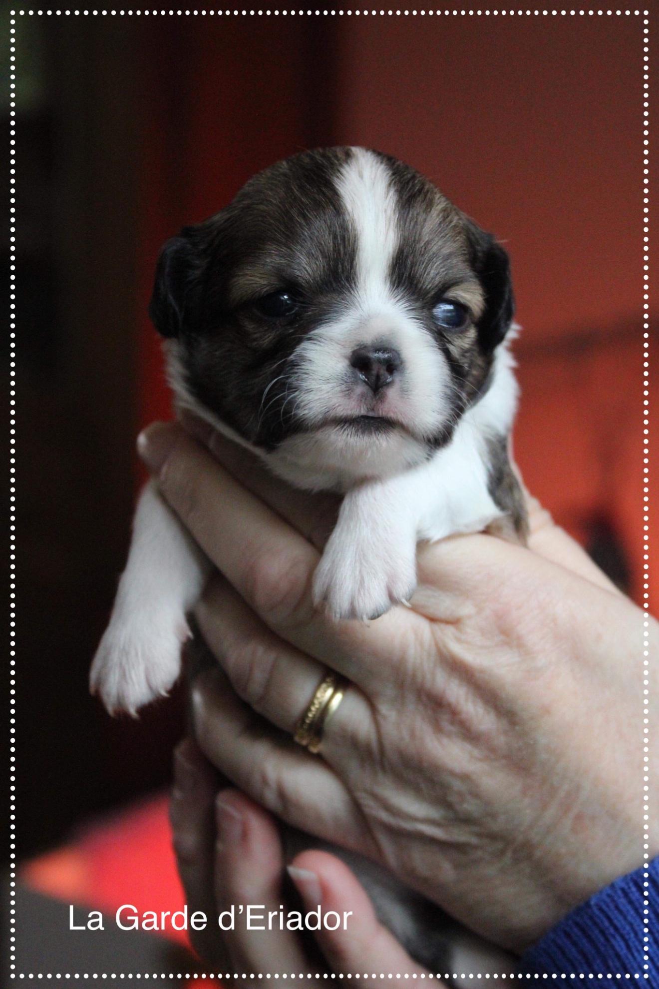 Chiot Chihuahua : 1  mâle - femelle 1 243339
