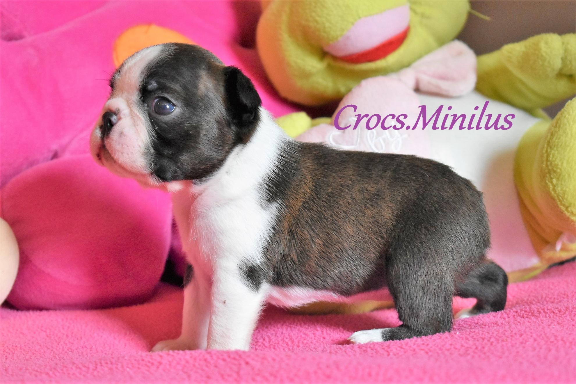Chiot Terrier de Boston : 1  mâle - femelle 0 235725