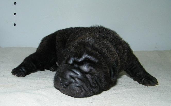 femelle noire brush coat