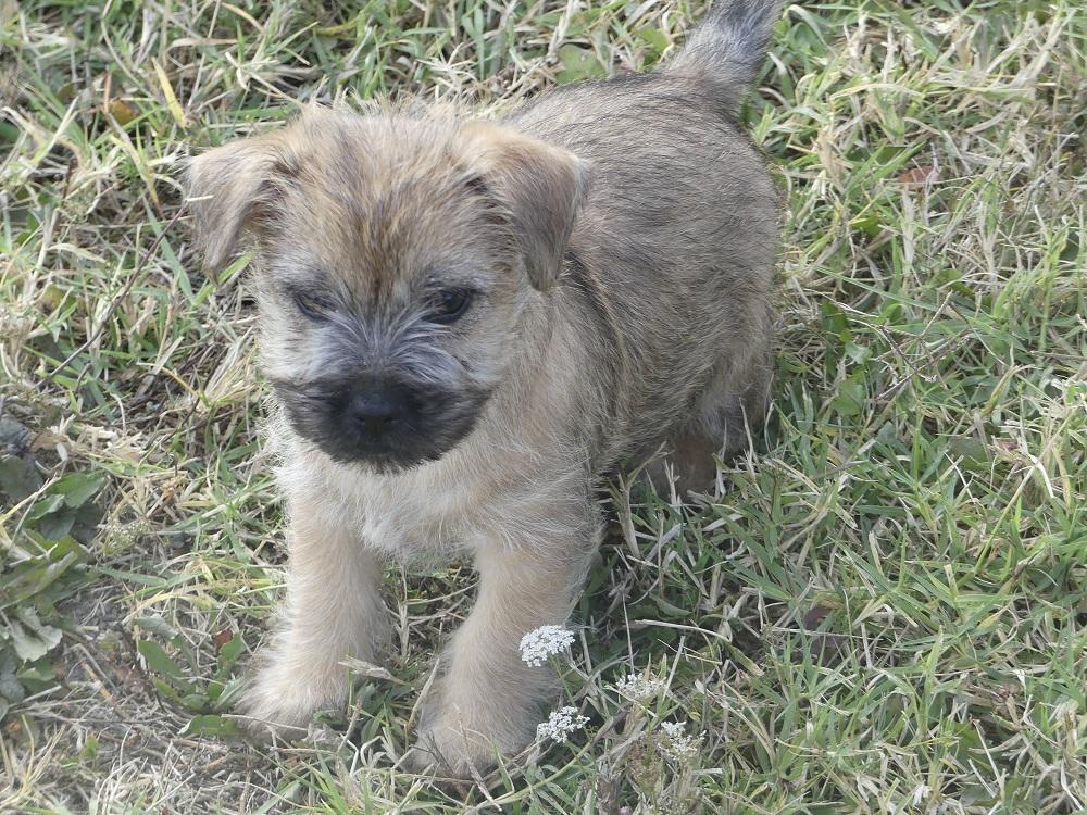 Chiot Cairn terrier : 2  mâles - femelles 2 250262