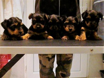 Chiot Yorkshire terrier : 2  mâles – femelles 3 250789