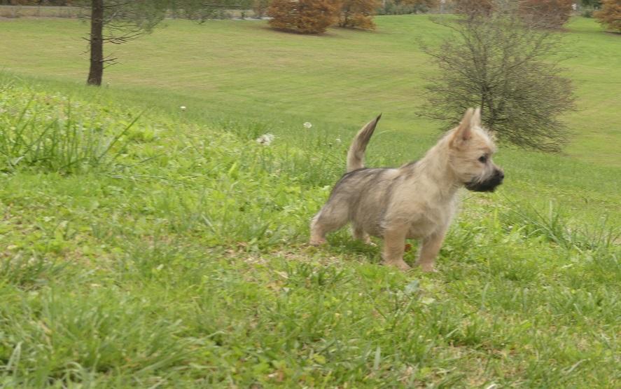 Chiot Cairn terrier : 3  mâles - femelle 1 250266