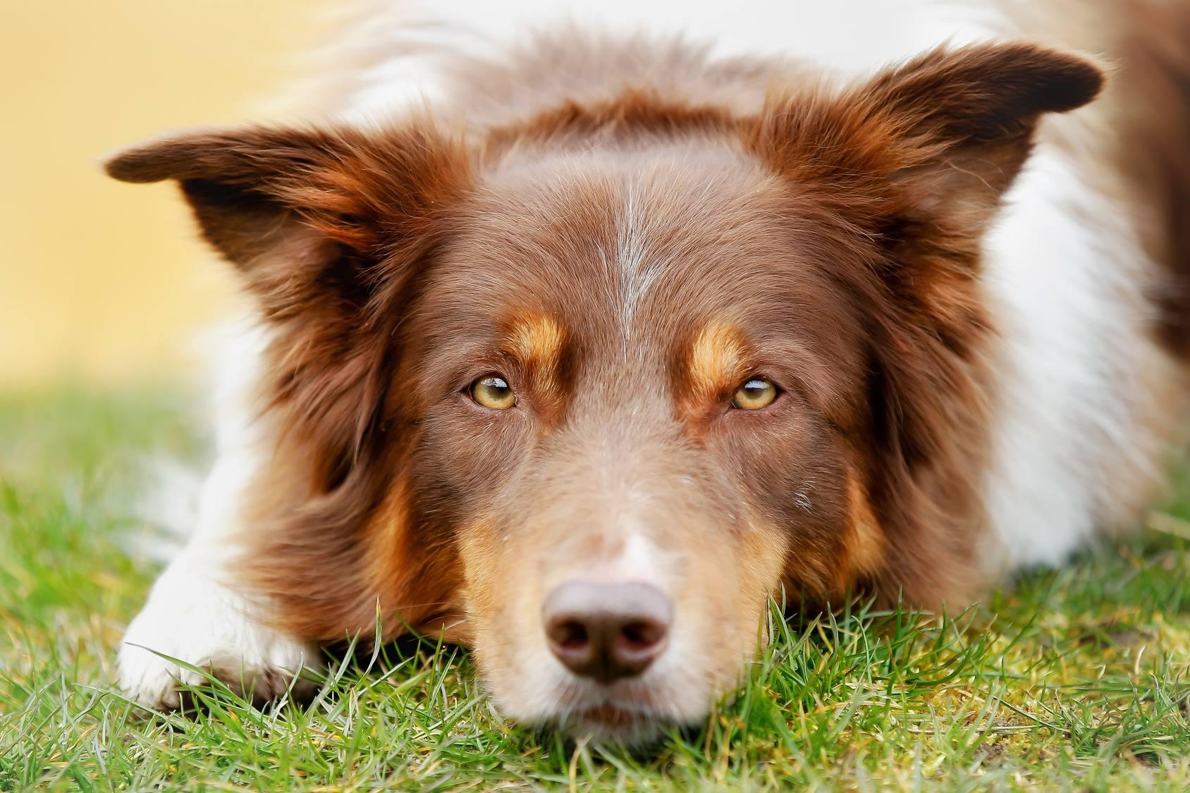 L'eczéma ou dermatite atopique chez le chien