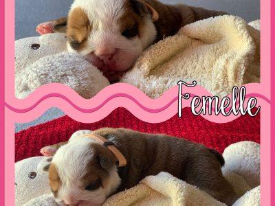 Chiot Bulldog anglais : 2  mâles – 2  femelles 8832