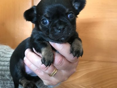 Chiot Chihuahua : 2  mâles – 1  femelle 8538