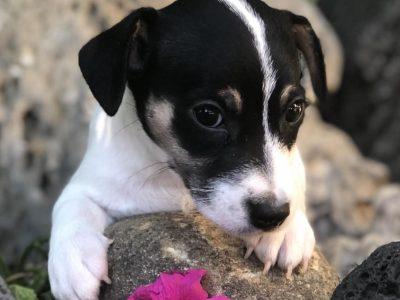 Chiot Jack russell terrier : 2  mâles – femelles 4 246316