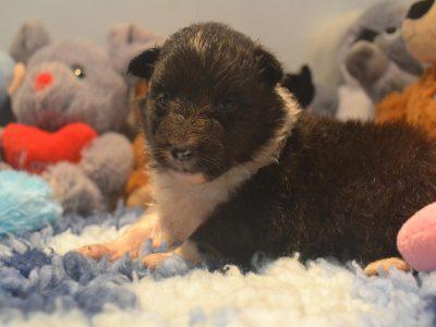 Chiot Terrier de Boston : 1  mâle – femelles 5 246424