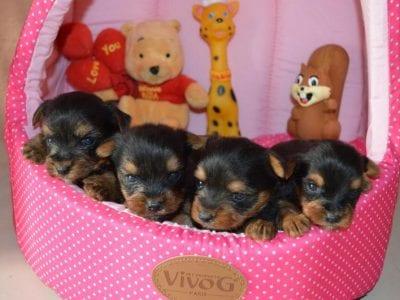 Chiot Yorkshire terrier : 2  mâles – femelles 3 241141