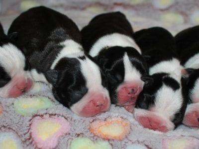 Chiot Terrier de Boston : 2  mâles – femelles 3 238421