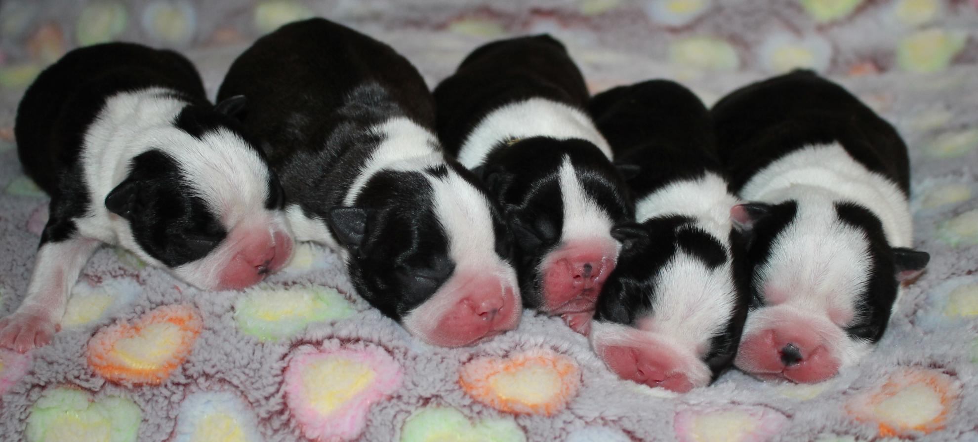 Chiot Terrier de Boston : 2  mâles - femelles 3 238421