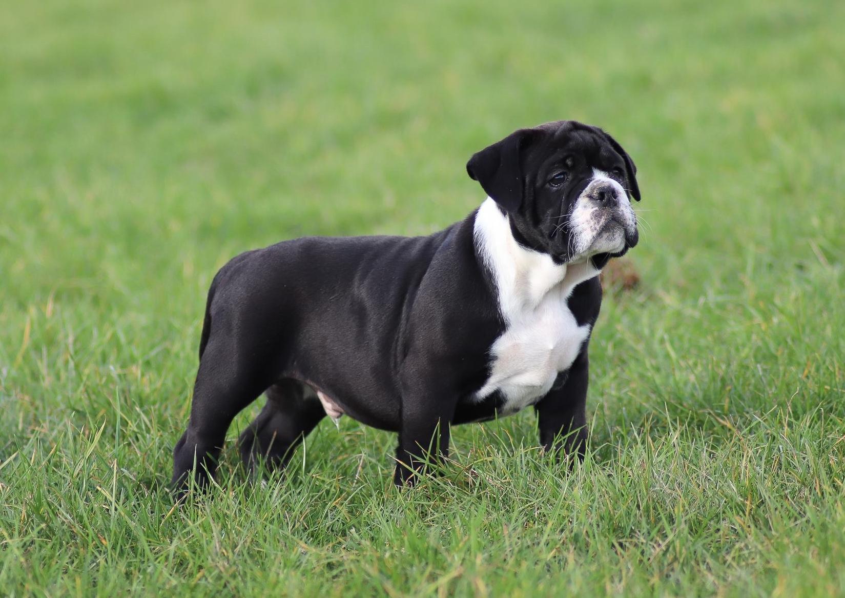 Chiot Continal Bulldog : 2  mâles - femelles 2 238308