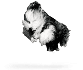http://www.wikichien.fr/wp-content/uploads/sites/4/2015/09/breed_picture-10014.png