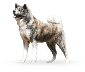 http://www.wikichien.fr/wp-content/uploads/sites/4/2015/09/breed_picture-100148.png
