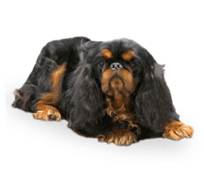 http://www.wikichien.fr/wp-content/uploads/sites/4/2015/09/breed_picture-100304.png