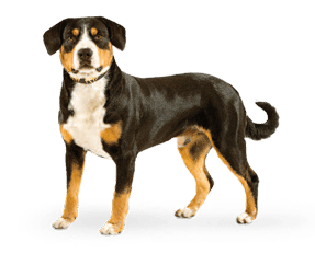 http://www.wikichien.fr/wp-content/uploads/sites/4/2015/09/breed_picture-10063.png