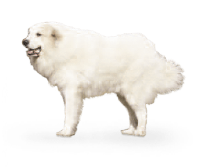 http://www.wikichien.fr/wp-content/uploads/sites/4/2015/09/breed_picture-10066.png