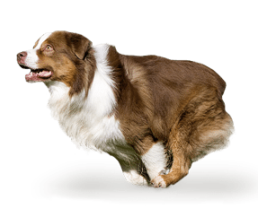 http://www.wikichien.fr/wp-content/uploads/sites/4/2015/09/breed_picture-1007.png