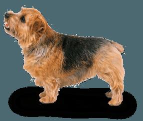 Terrier du Norfolk