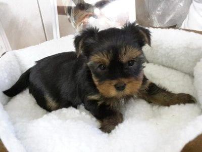 Chiot Yorkshire terrier : 2  mâles – femelle 1 238352
