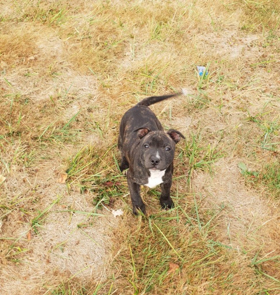 Chiot Staffordshire bull terrier : 1  mâle – femelles 3 238287