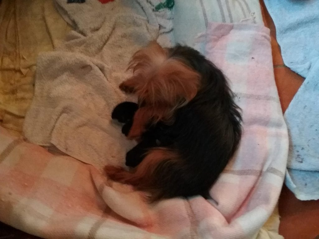 Chiot Yorkshire terrier : 1  mâle – femelles 3 238423