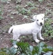Chiot Jack russell terrier : 1  mâle - femelle 1 238419