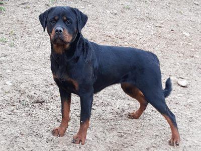 Chiot Rottweiler : 0  mâle – femelle 1 243488