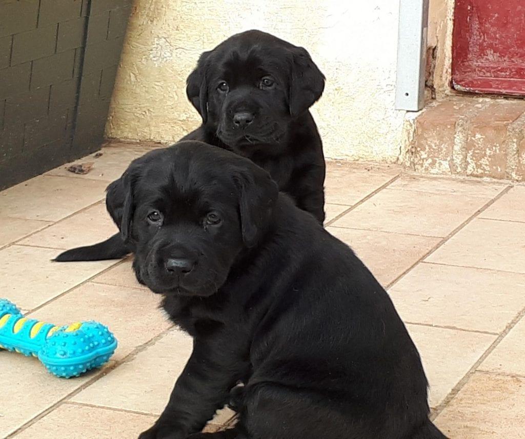 Chiot Labrador retriever : 0  mâle – femelle 1 239913