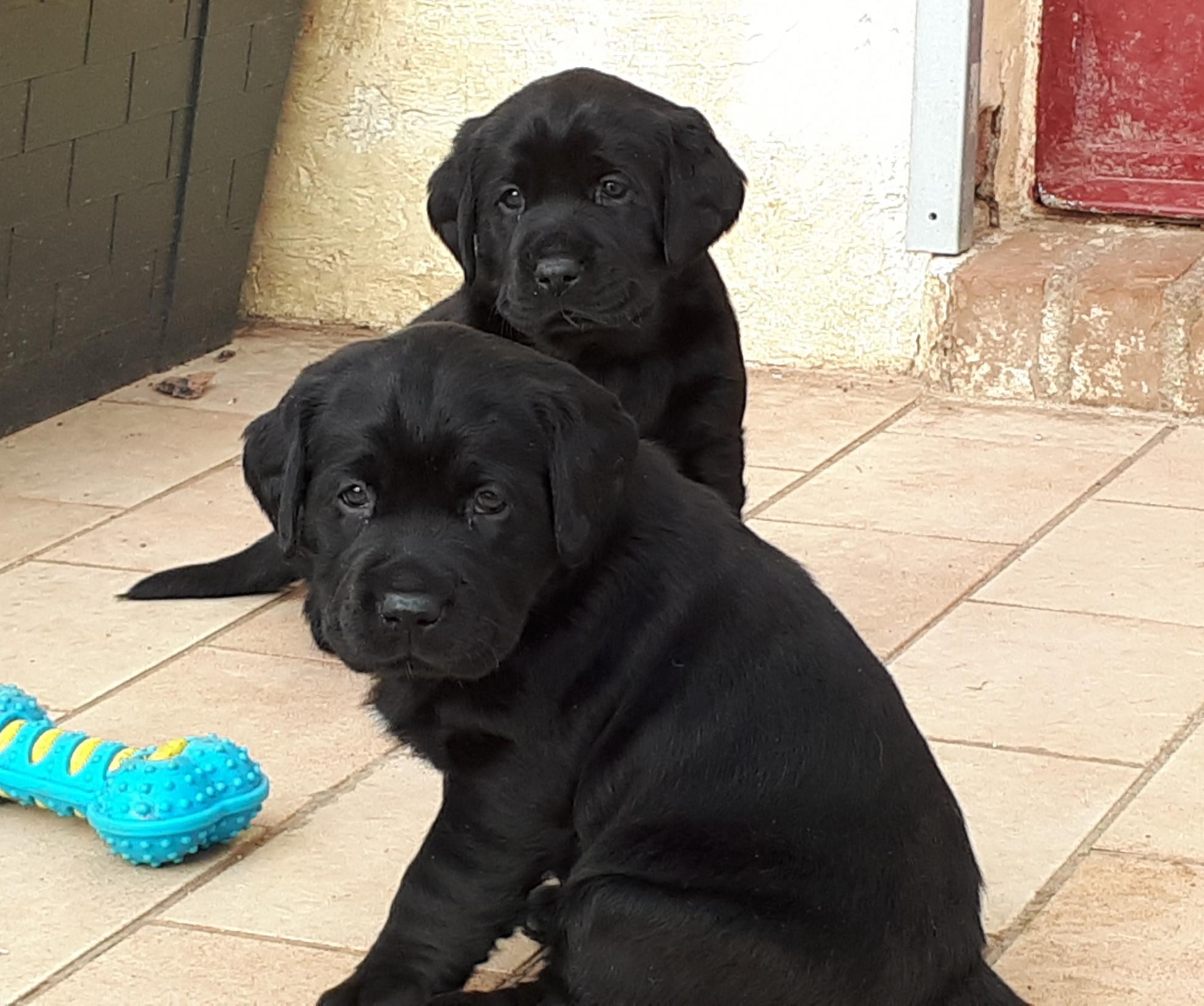 Chiot Labrador retriever : 0  mâle - femelle 1 239913