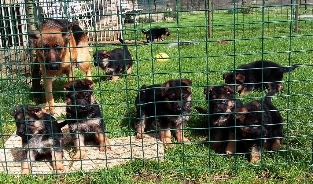 Chiot Berger Allemand : 4  mâles - femelles 4 244015
