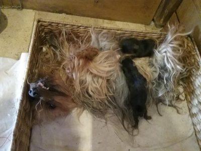 Chiot Yorkshire terrier : 0  mâle – femelle 1 244190