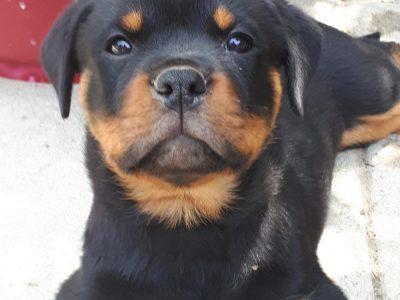 Chiot Rottweiler : 5  mâles – femelles 3 245483