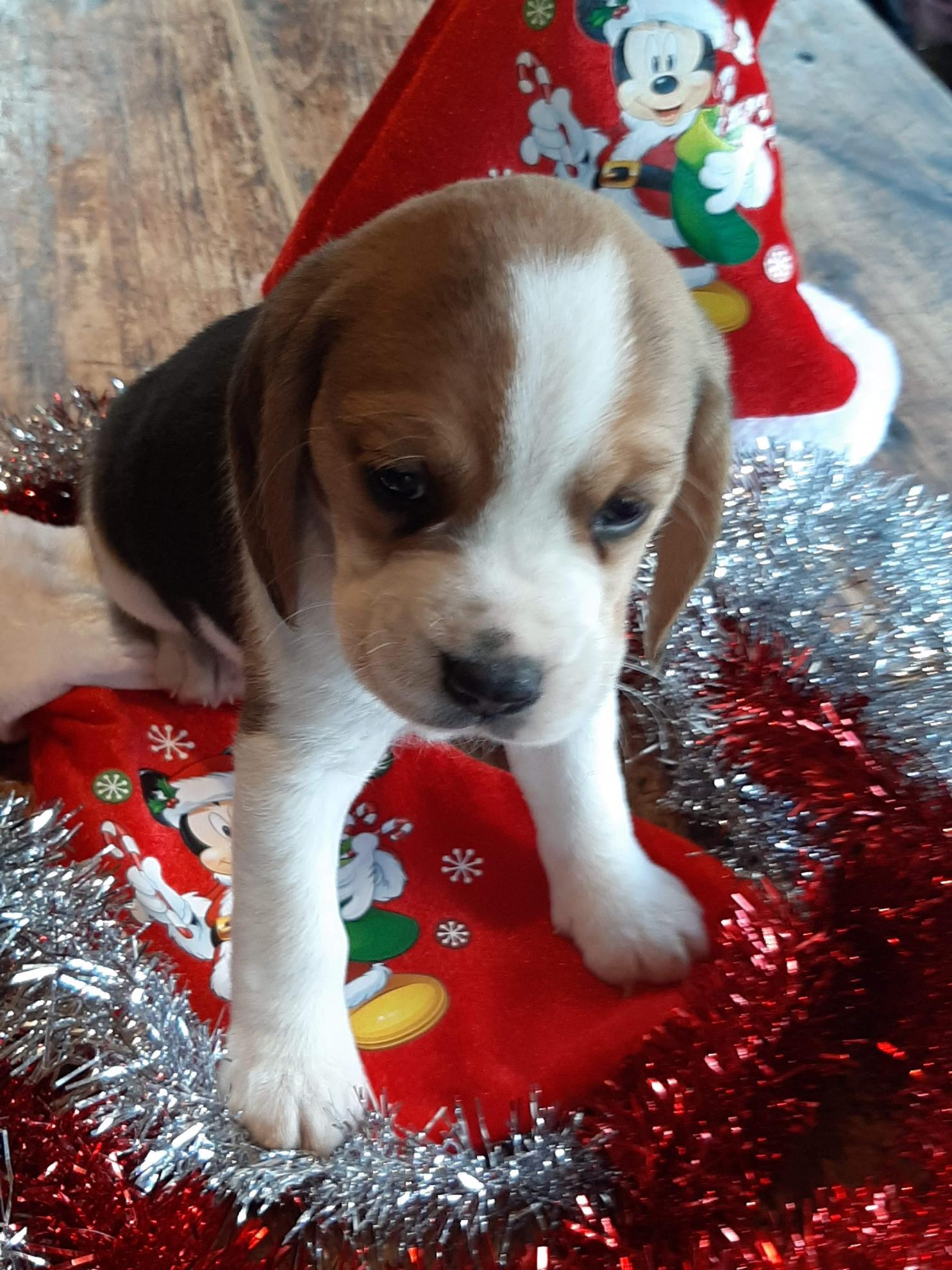 Chiot Beagle : 3  mâles - femelles 3 250197