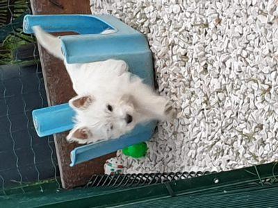 Chiot West highland white terrier : 0  mâle – femelles 2 250201