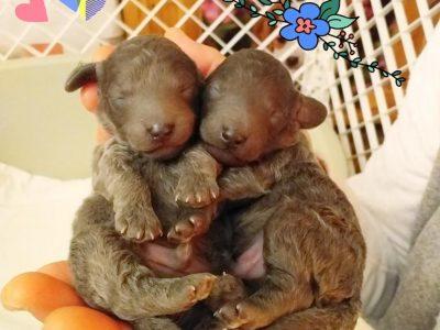 Chiot Caniche nain : 2  mâles – femelle 0 250850