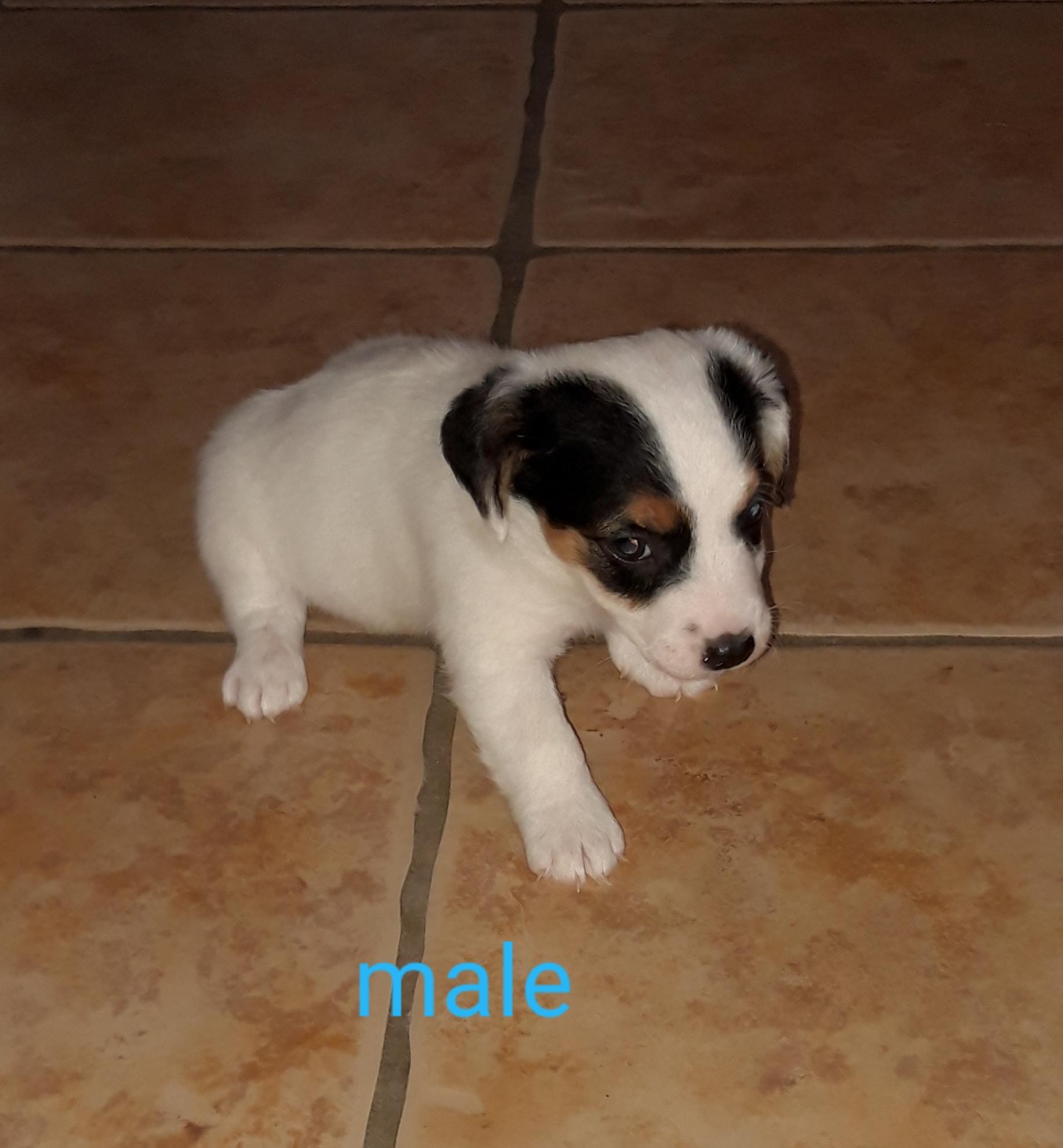 Chiot Jack russell terrier : 2  mâles - femelles 2 250579