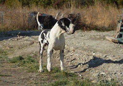 Chiot Dogue Allemand : 9  mâles – femelles 2 243850