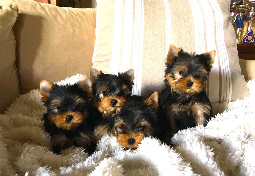 Chiot Yorkshire terrier : 3  mâles – femelles 3 243522
