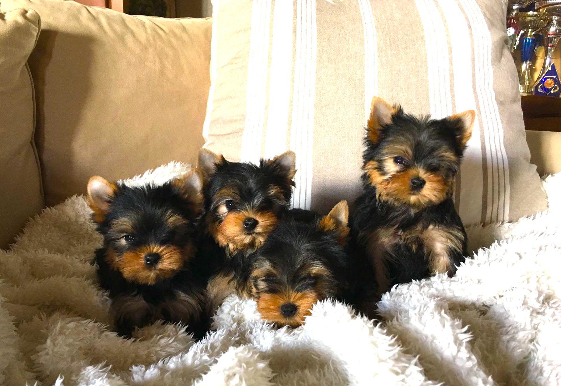 Chiot Yorkshire terrier : 3  mâles - femelles 3 243522