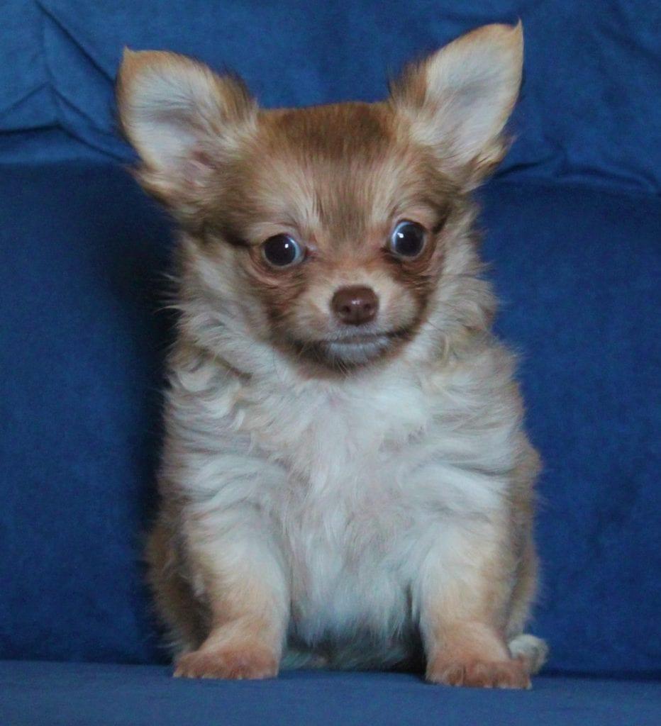 Chiot Chihuahua : 1  mâle – femelle 1 239478