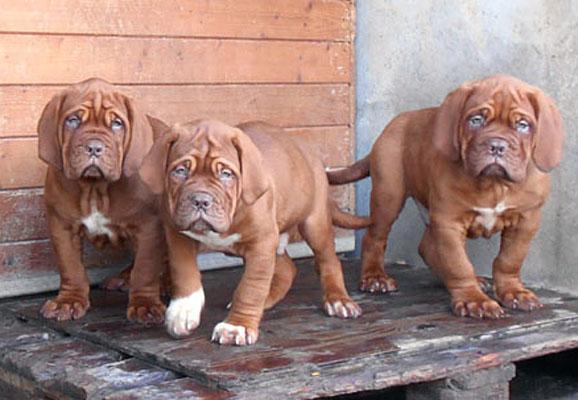 Chiot Dogue de Bordeaux : 5  mâles – femelle 1 243557