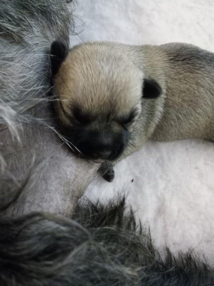 Chiot Cairn terrier : 0  mâle - femelles 2 240326