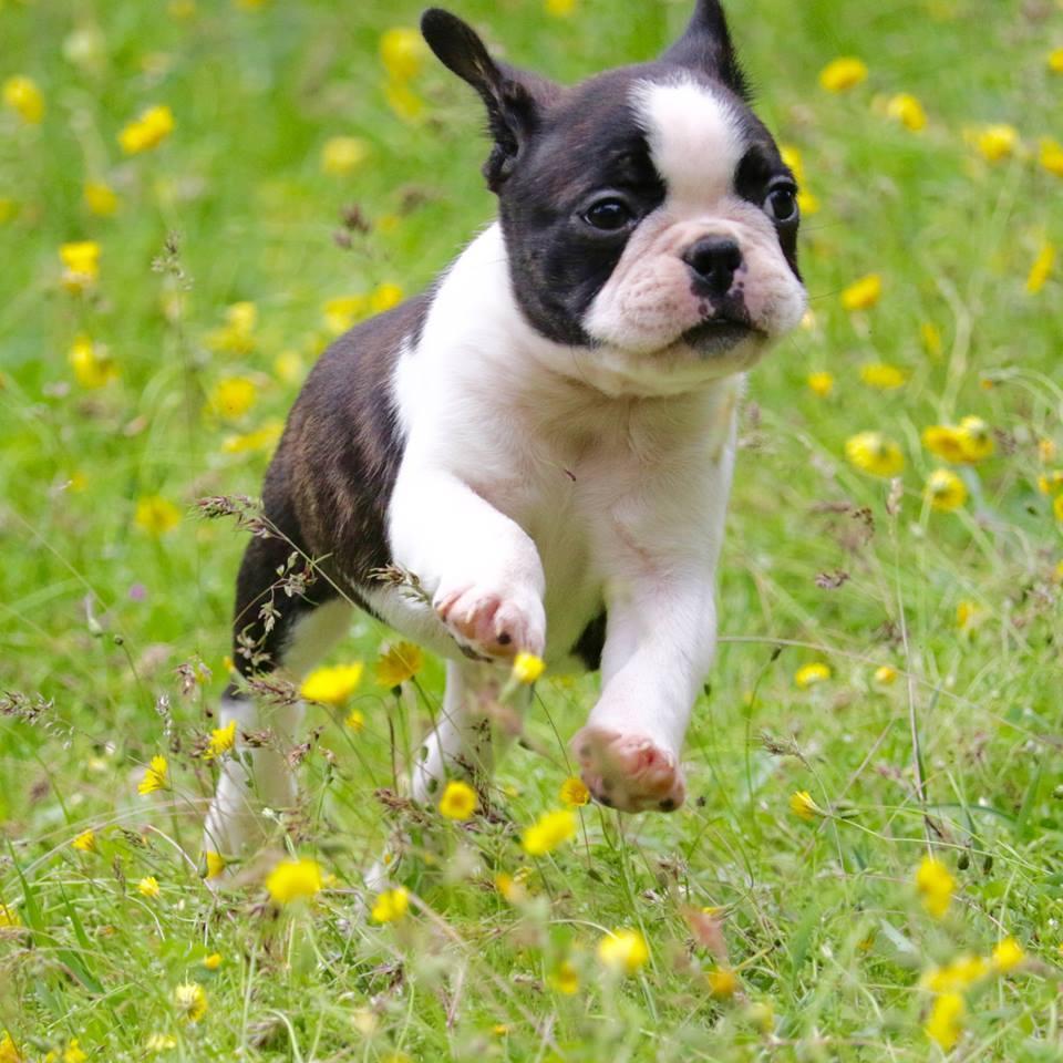 Chiot Terrier de Boston : 3  mâles - femelle 0 234253