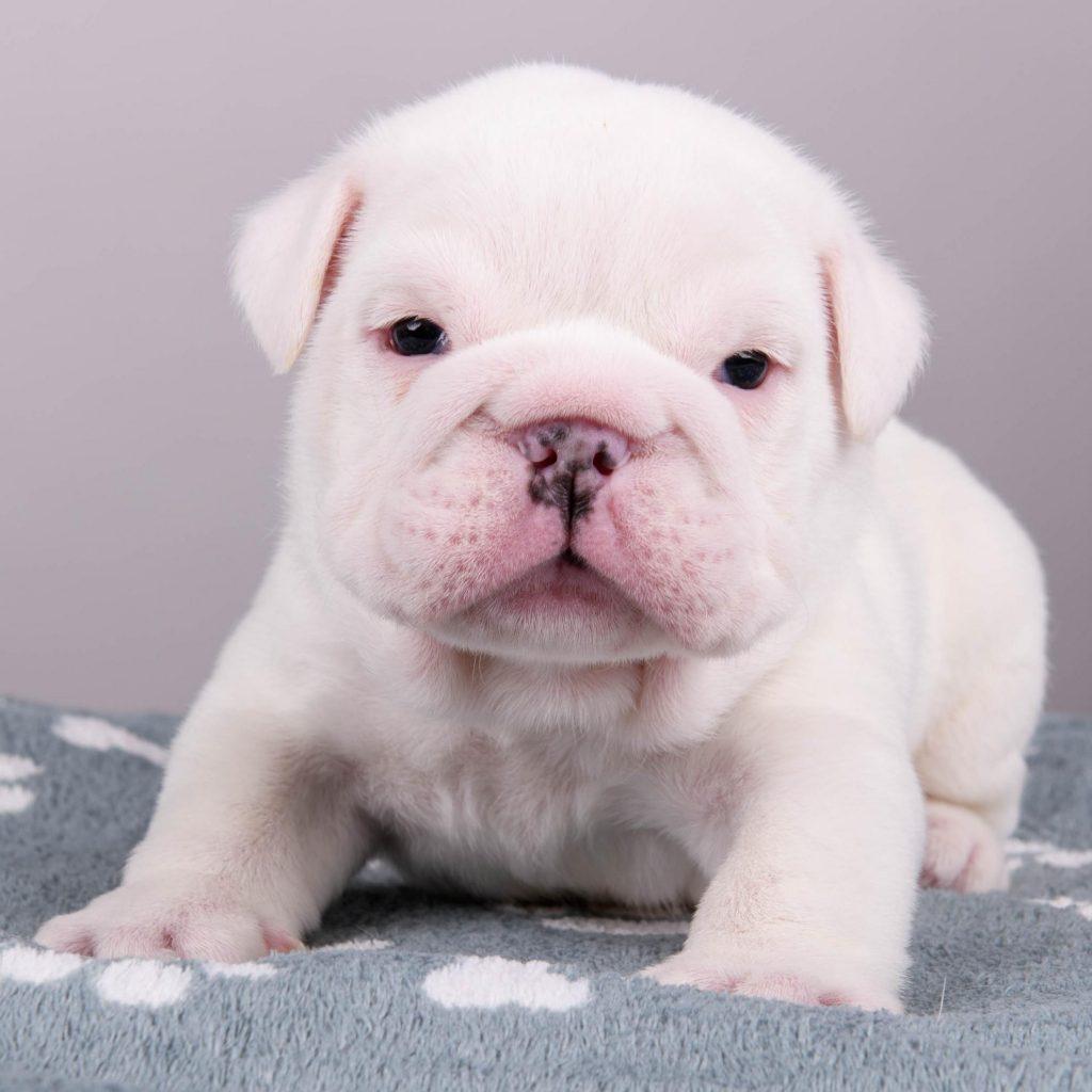 Chiot Bulldog : 3  mâles – femelles 2 244414
