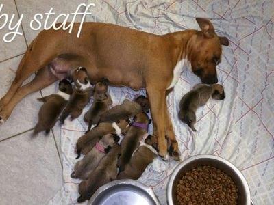 Chiot American staffordshire terrier : 2  mâles – femelle 1 236505