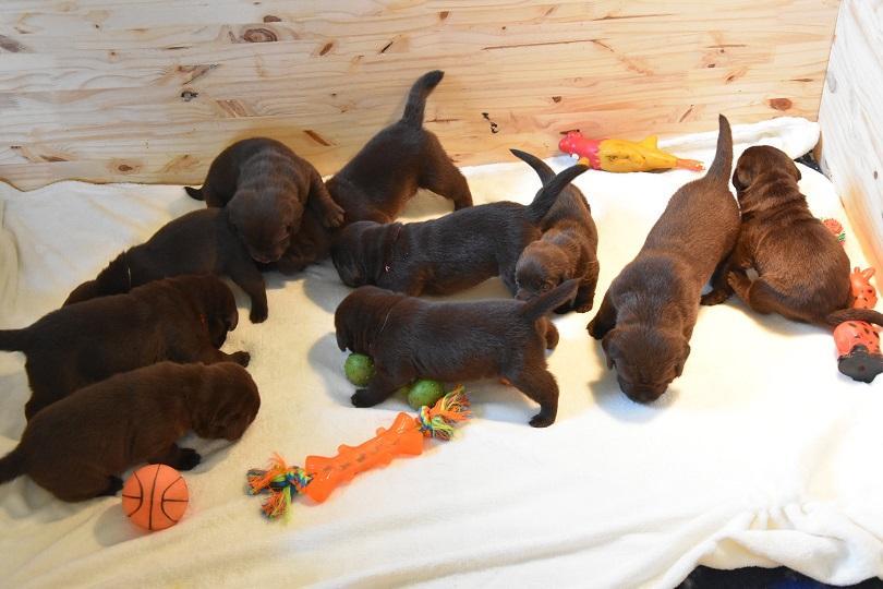 Chiot Labrador retriever : 1  mâle - femelles 2 237817