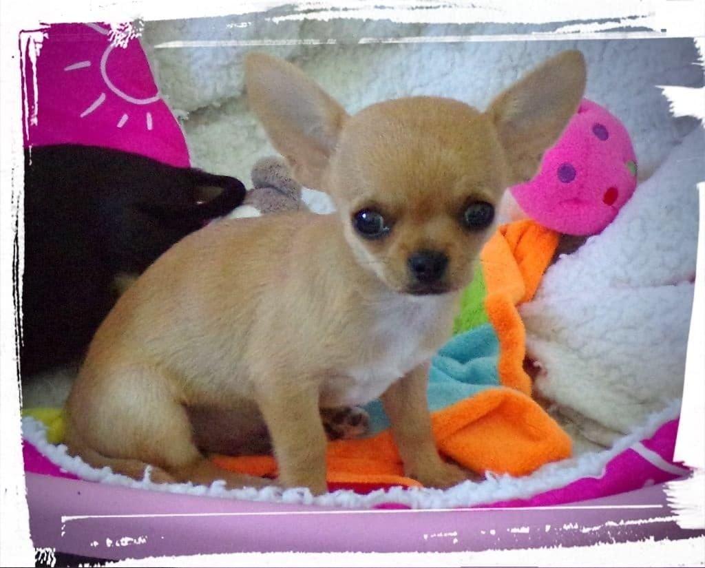 Chiot Chihuahua : 3  mâles – femelle 0 235793