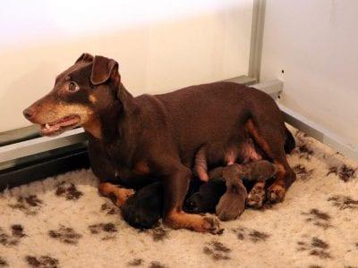 Chiot Jagd terrier : 2  mâles – femelles 2 239631