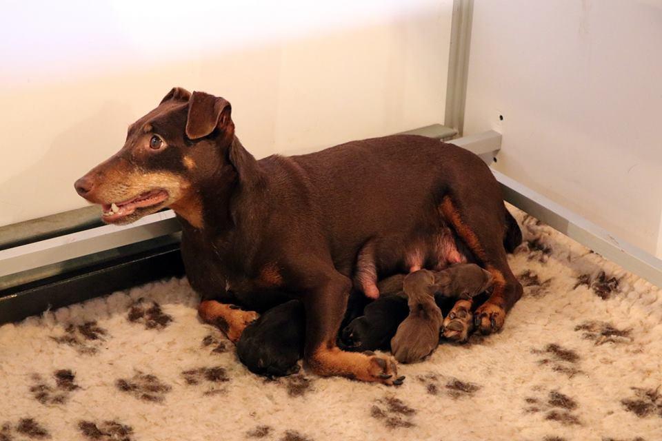 Chiot Jagd terrier : 2  mâles - femelles 2 239631